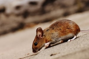 Mice Exterminator, Pest Control in Borehamwood, Elstree, Well End, WD6. Call Now 020 8166 9746